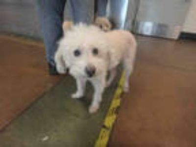 Adopt MICKEY a White Poodle (Miniature) / Mixed dog in Van Nuys, CA (25279941)