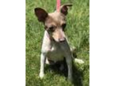 Adopt Clae a White Rat Terrier / Mixed dog in Elkhorn, WI (25888715)