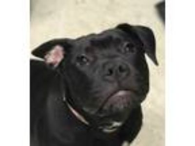 Adopt Etch a Black American Pit Bull Terrier / Labrador Retriever / Mixed dog in