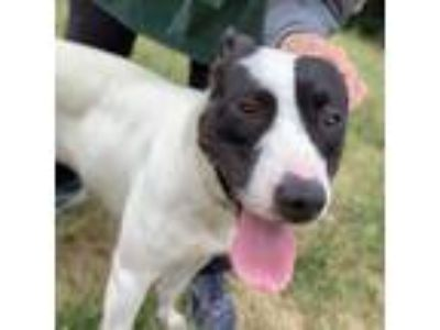Adopt Panda a White - with Black Jack Russell Terrier / Bull Terrier / Mixed dog