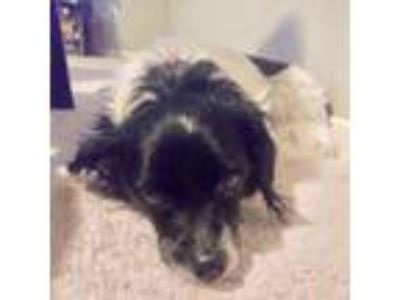 Adopt abby a Black Terrier (Unknown Type, Medium) dog in League City