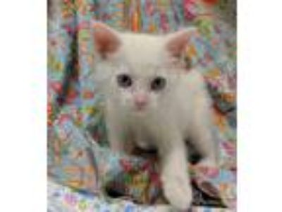 Adopt Depp 30715 a White Domestic Shorthair / Mixed (short coat) cat in