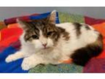 Adopt Ilena a Domestic Longhair / Mixed (long coat) cat in Forest Lake