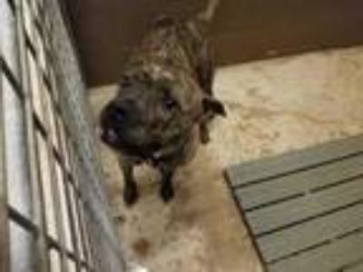 Adopt Blade a Brindle American Pit Bull Terrier / Mixed dog in Schertz