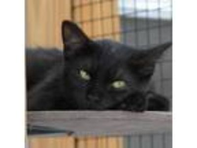 Adopt Trudy a All Black Domestic Shorthair cat in Lake Panasoffkee