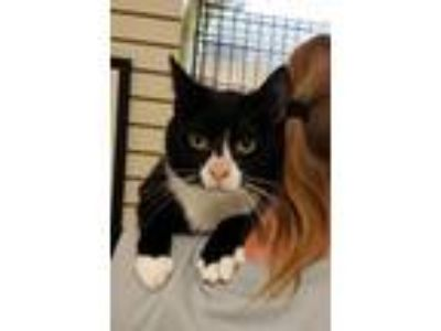Adopt Peter Pan a Domestic Short Hair