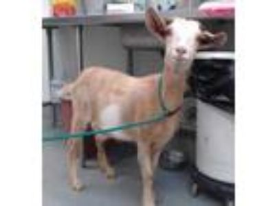 Adopt BILLIE a Goat / Mixed farm-type animal in Albuquerque, NM (25568275)