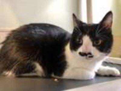 Adopt Archie a Domestic Shorthair / Mixed (short coat) cat in Mankato