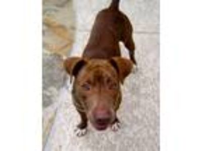 Adopt Nevada a Pit Bull Terrier, Staffordshire Bull Terrier