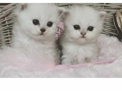 Adorable Male And Female Persian Kitten Available For Any Good Homes