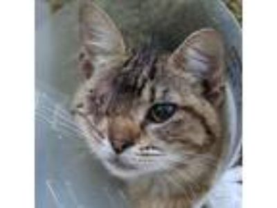 Adopt Agave a Brown or Chocolate Domestic Shorthair / Domestic Shorthair / Mixed