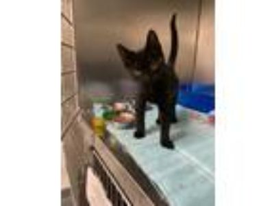 Adopt Bertram a All Black Domestic Shorthair / Domestic Shorthair / Mixed cat in