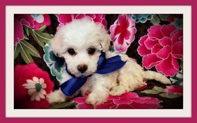 BEAUTIFUL MALTESE MIXED WITH POODLE IN SAN JOSE ! 415/936/4800