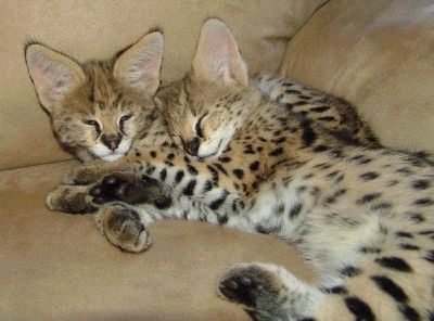 Super Stunning F2 savanna kittens for sale