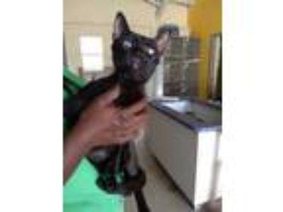 Adopt QUARTUS a All Black Domestic Shorthair / Domestic Shorthair / Mixed cat in