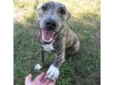 Adopt 41746611 a Terrier, Pit Bull Terrier