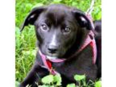 Adopt Buddy a Labrador Retriever / Hound (Unknown Type) / Mixed dog in White