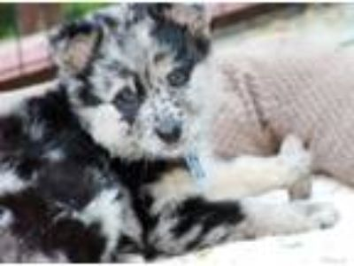 Adopt Cinder a Australian Shepherd, Cattle Dog