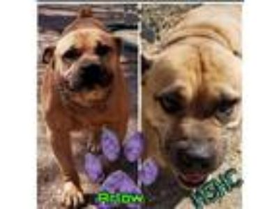 Adopt Arlow a Shar Pei / Pit Bull Terrier / Mixed dog in Henderson