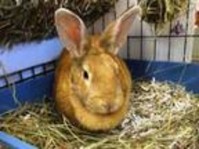 Adopt LIGHTY a Bunny Rabbit