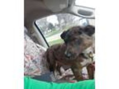 Adopt Cooper a Brindle - with White Australian Cattle Dog dog in Minot