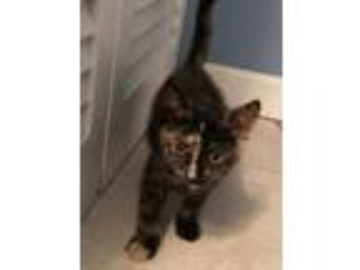 Adopt Darla a Tortoiseshell Domestic Shorthair (medium coat) cat in Bay Shore