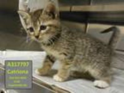 Adopt CATRIONA a Brown Tabby Domestic Shorthair / Mixed (short coat) cat in