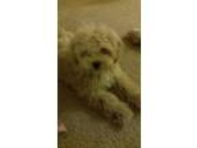 Adopt Toby a Brown/Chocolate Pekingese / Poodle (Standard) dog in McDonough