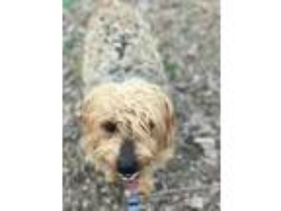 Adopt Wally a Yorkshire Terrier, Poodle