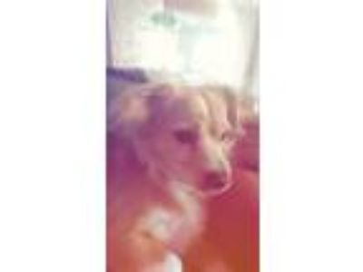 Adopt Mia a Tan/Yellow/Fawn Terrier (Unknown Type, Small) dog in Charlotte