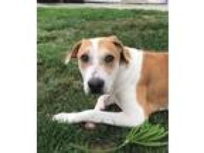 Adopt Bethany a Shepherd (Unknown Type) / Labrador Retriever / Mixed dog in Dana