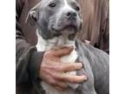 Adopt Brooke a Gray/Silver/Salt & Pepper - with Black American Pit Bull Terrier