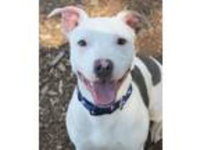 Adopt Harvey a Pit Bull Terrier
