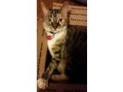 Adopt Faith a Gray or Blue Domestic Shorthair / Domestic Shorthair / Mixed cat