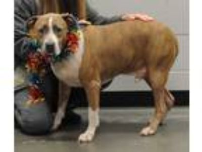 Adopt Frankie a Brindle - with White Pit Bull Terrier / Mixed dog in Henderson
