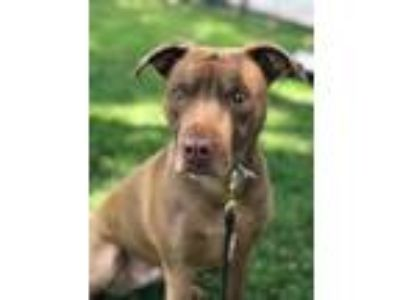 Adopt Gemma a Brown/Chocolate Labrador Retriever / American Pit Bull Terrier /