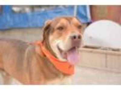 Adopt Everest a Mastiff, Shepherd