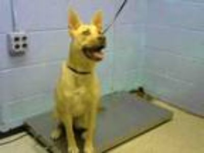 Adopt EVANESCENCE a German Shepherd Dog, Mixed Breed