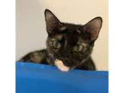 Adopt Venus a All Black Domestic Shorthair / Domestic Shorthair / Mixed cat in