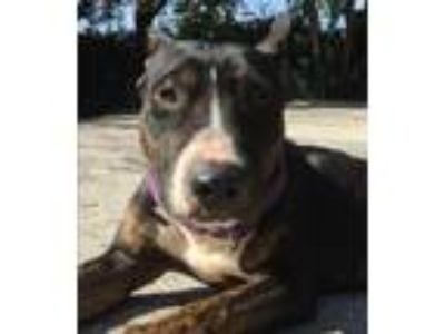 Adopt Jay Jay a Black - with Brown, Red, Golden, Orange or Chestnut Bull Terrier