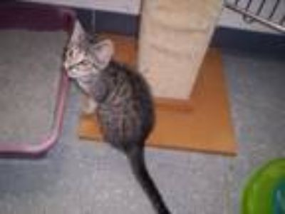 Adopt Geoffrey a Domestic Short Hair, Tabby