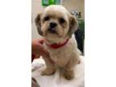 Adopt Luke a Tan/Yellow/Fawn Lhasa Apso / Mixed dog in Columbia City
