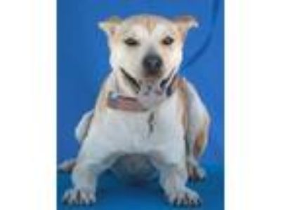 Adopt Dixie a Labrador Retriever, Mixed Breed