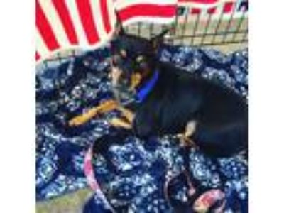 Adopt Matilda a Black - with Tan, Yellow or Fawn Miniature Pinscher / Mixed dog