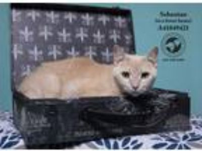 Adopt Sebastian (In a Foster Home) a Tan or Fawn Domestic Shorthair (short coat)