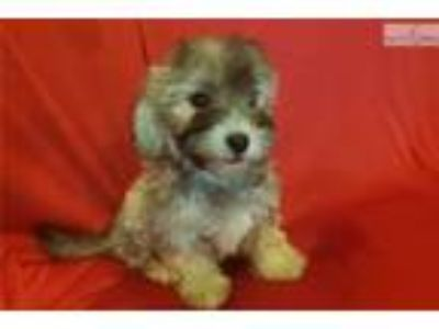 Maltipoo Male ( Buddy )