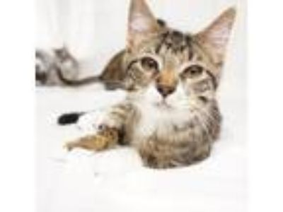 Adopt Gizmo a Brown or Chocolate (Mostly) Domestic Shorthair (short coat) cat in