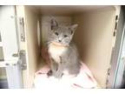 Adopt MERCURY a Domestic Short Hair