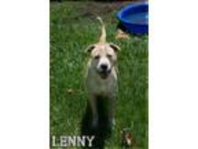 Adopt Lenny a White - with Brown or Chocolate Pit Bull Terrier / Labrador