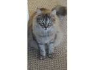 Adopt Cali a Tan or Fawn Domestic Mediumhair / Mixed (medium coat) cat in Los